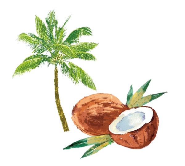 ココナッツ(椰子)